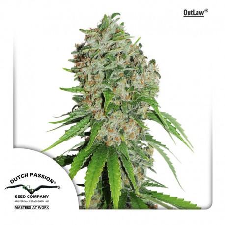 buy cannabis seeds Outlaw