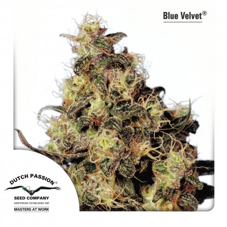 buy cannabis seeds Blue Velvet