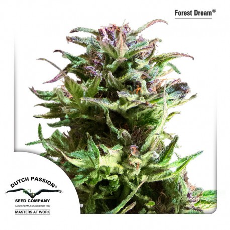 buy cannabis seeds Forest Dream