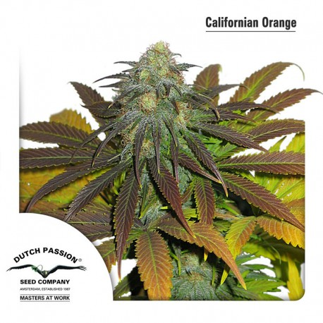 buy cannabis seeds Californian Orange