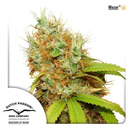 buy cannabis seeds Mazar