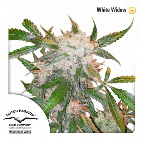 buy cannabis seeds White Widow