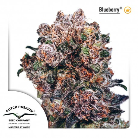 buy cannabis seeds Blueberry