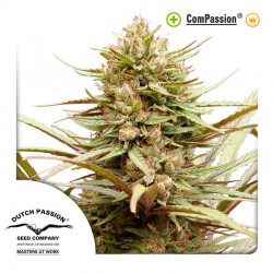 ComPassion cannabis seeds Dutch Passion