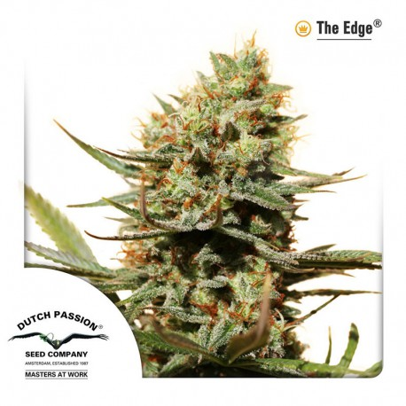 buy cannabis seeds The Edge