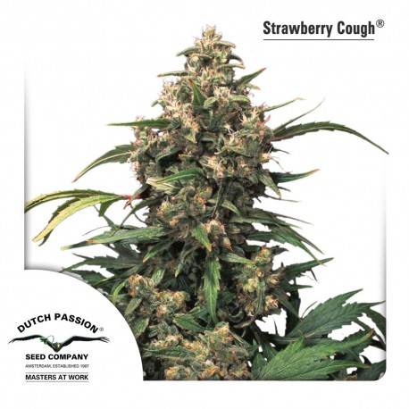 buy cannabis seeds Strawberry Cough