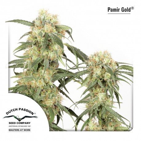 buy cannabis seeds Pamir Gold
