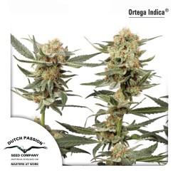 Ortega Indica cannabis seeds Dutch Passion