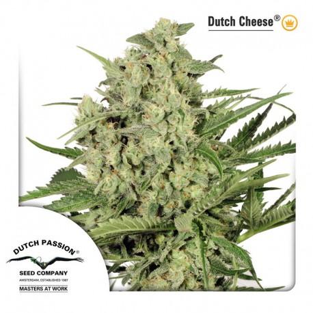buy cannabis seeds Dutch Cheese