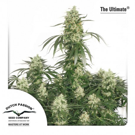 buy cannabis seeds The Ultimate