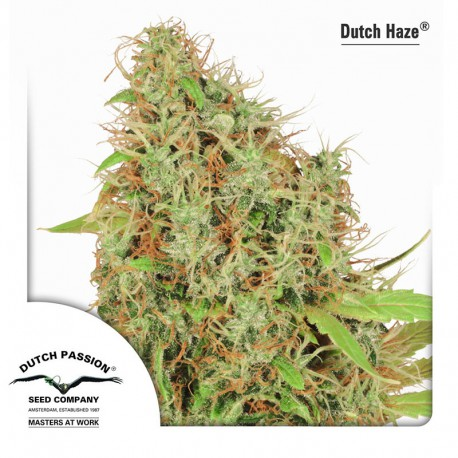 buy cannabis seeds Dutch Haze