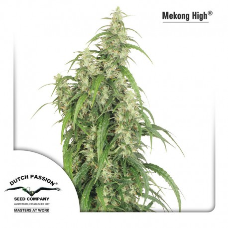 buy cannabis seeds Mekong High