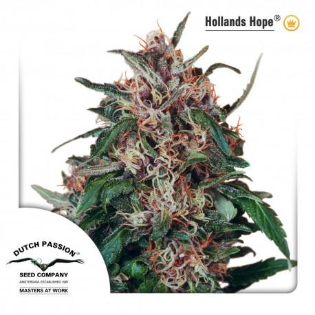 buy cannabis seeds Holland's Hope