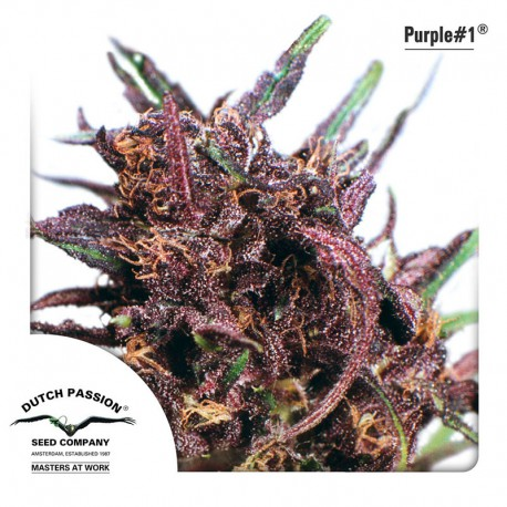 buy cannabis seeds Purple #1