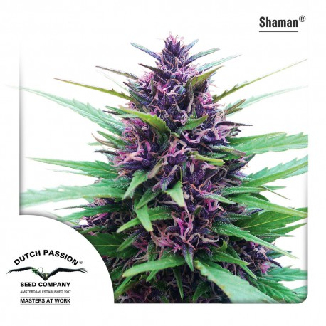 buy cannabis seeds Shaman