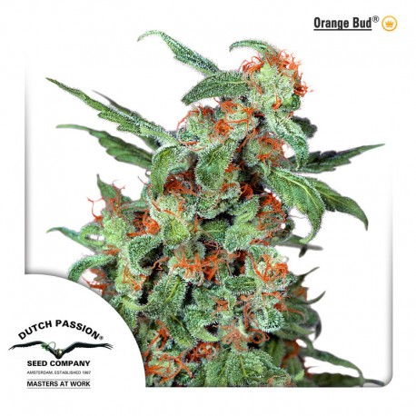 buy cannabis seeds Orange Bud