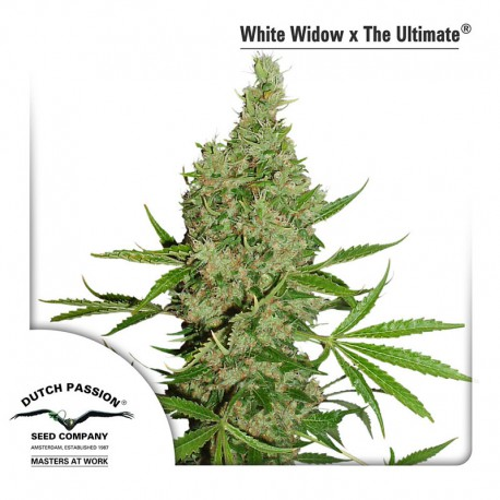 buy cannabis seeds White Widow x The Ultimate
