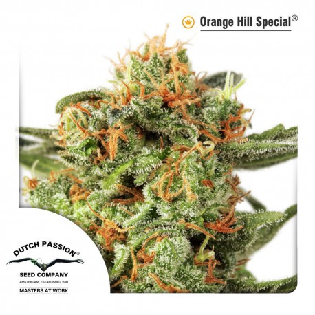 buy cannabis seeds Orange Hill Special
