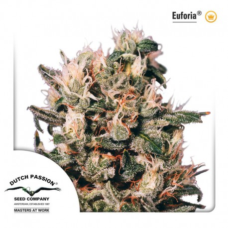buy cannabis seeds Euforia