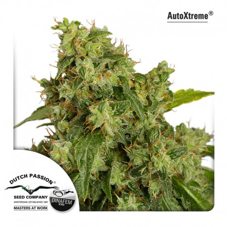 buy cannabis seeds AutoXtreme Automatic