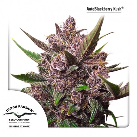 buy cannabis seeds AutoBlackberry Kush