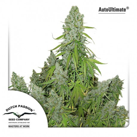 buy cannabis seeds Auto Ultimate