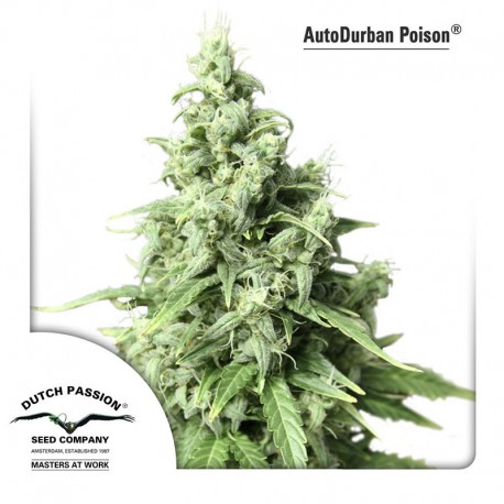 buy cannabis seeds AutoDurban Poison