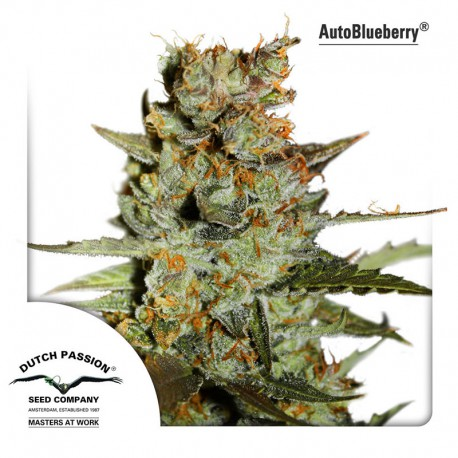 buy cannabis seeds AutoBlueberry
