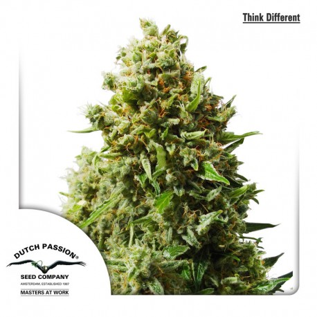 buy cannabis seeds Think Different Automatic