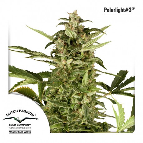 buy cannabis seeds Polar Light #3 Auto