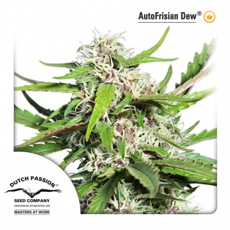 buy cannabis seeds Frisian Dew Auto