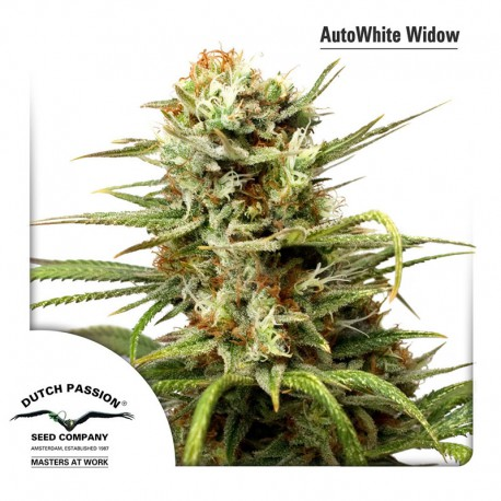 buy cannabis seeds White Widow Auto