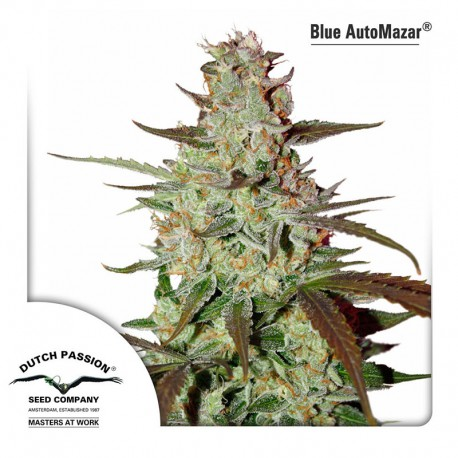 buy cannabis seeds Blue Auto Mazar