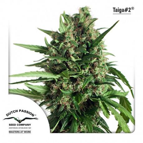 buy cannabis seeds Taiga #2 Auto