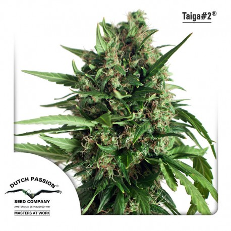 buy cannabis seeds Taiga #2 Auto