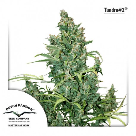 buy cannabis seeds Tundra #2 Auto