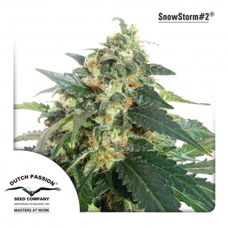 buy cannabis seeds Snow Storm #2 Auto