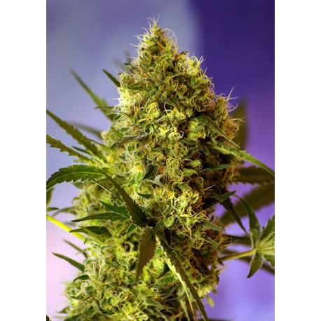 buy cannabis seeds Big Devil #2 Auto
