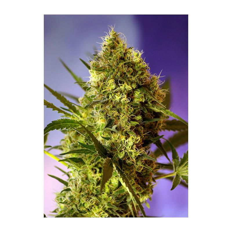 Заказать марихуану из голандии тема марихуана для nokia скачать