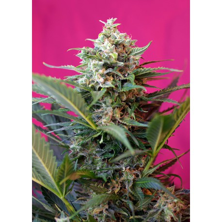 buy cannabis seeds Big Devil XL Auto