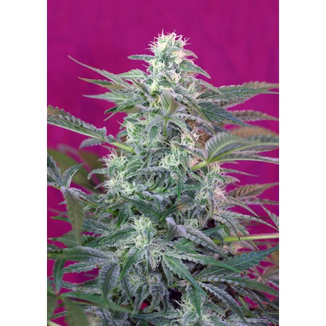 buy cannabis seeds Big Foot
