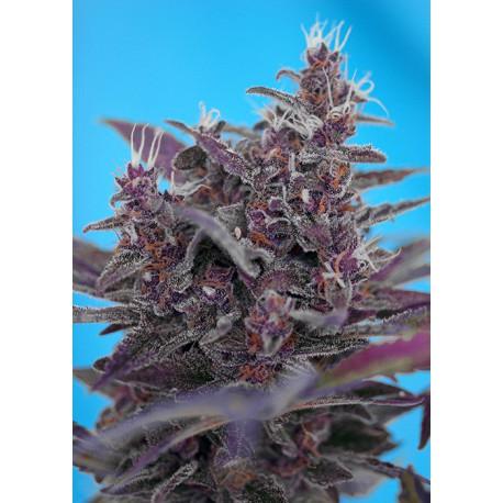 buy cannabis seeds Black Cream Auto