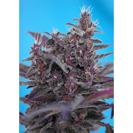 buy cannabis seeds Black Cream Auto
