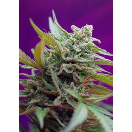 buy cannabis seeds Black Jack Auto