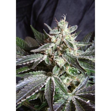 buy cannabis seeds Black Jack Fast V