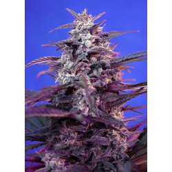 Bloody Skunk Auto cannabis seeds Sweet Seeds