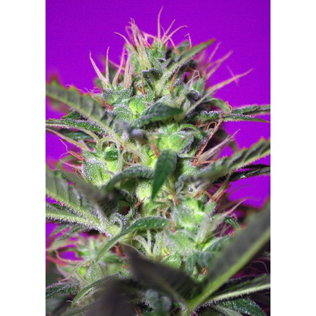 buy cannabis seeds Botafumeiros