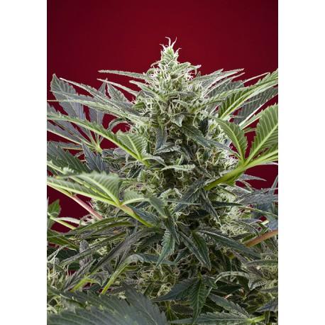 buy cannabis seeds Cream 47