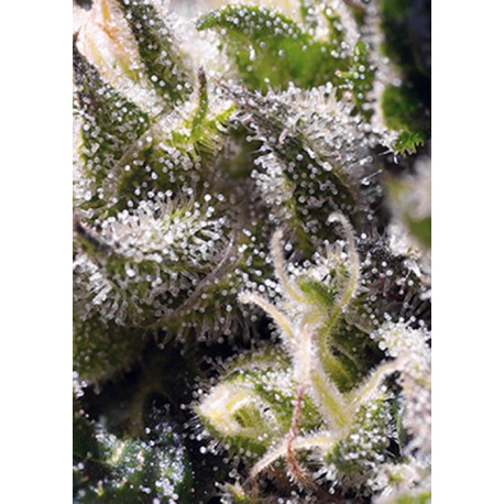 buy cannabis seeds Cream Caramel Auto