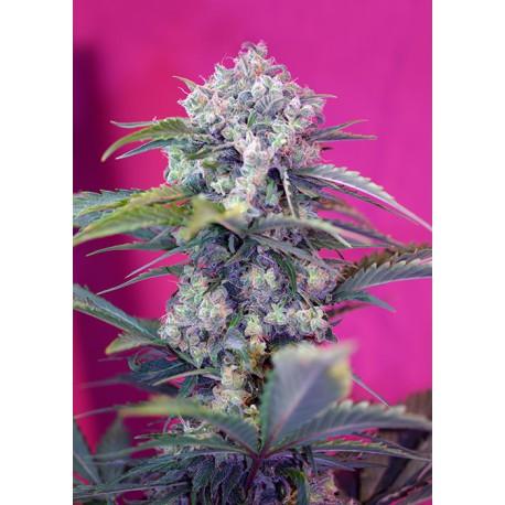buy cannabis seeds Cream Mandarine Auto